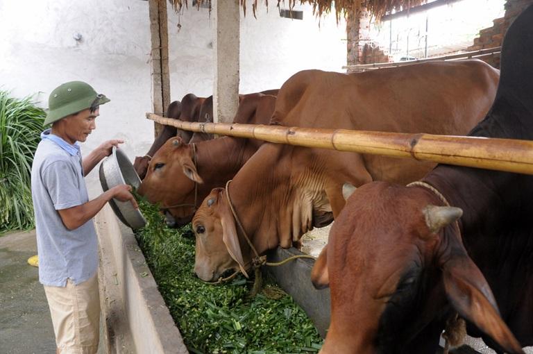 Chia sẻ cách nuôi bò nhanh lớn, tăng lợi nhuận cho bà con