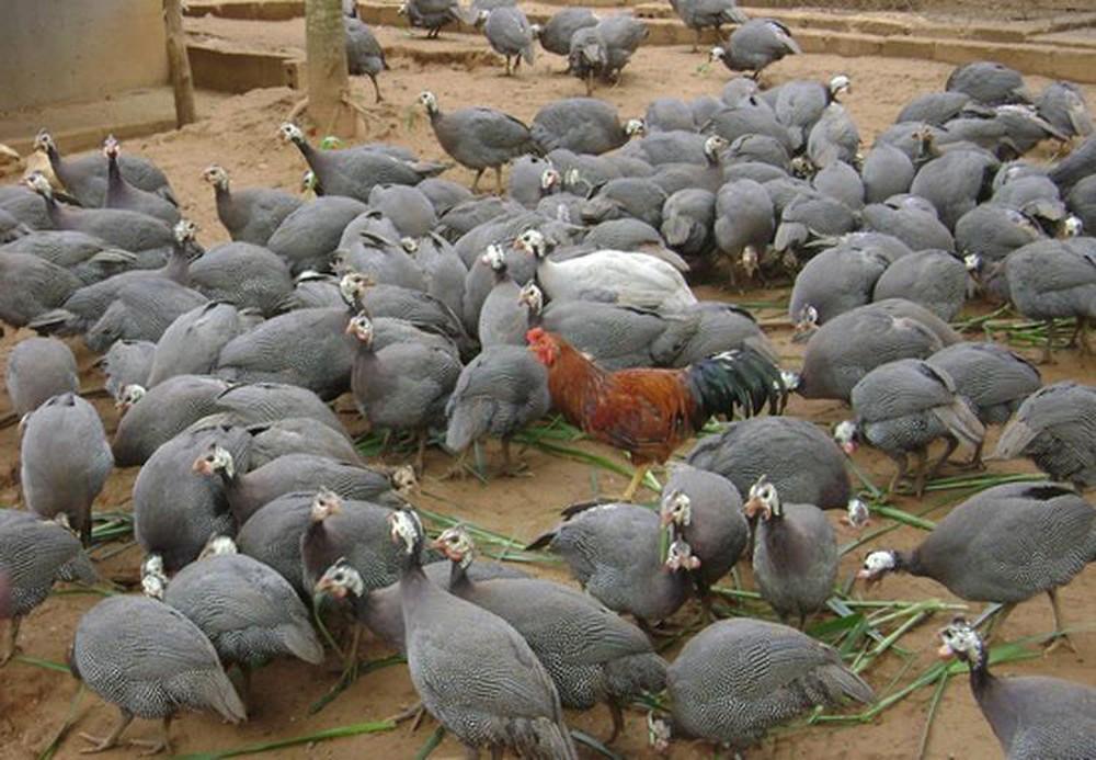Cách nuôi gà sao làm giàu cho bà con nông dân